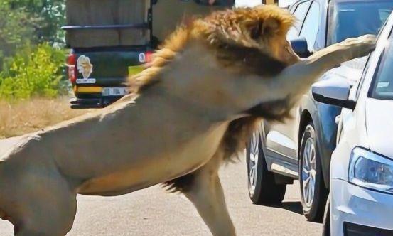 狮子一口咬住车尾,车主一脚踩动油门,镜头拍下意外瞬间