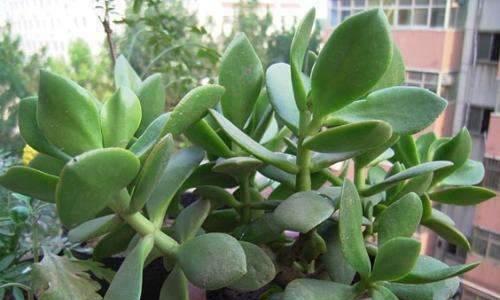 此种植物解压又好养,非常适合新手,四季枝繁叶茂,长势旺盛