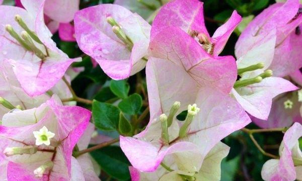 盆栽三角梅,做好4点,30天花朵躁盆,新手也能成为养花高手