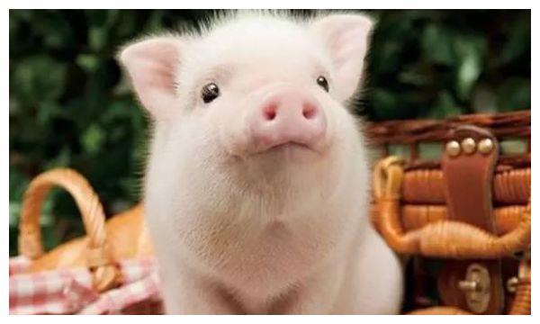 """1月20号一到,生肖猪将会""""祸从天降"""",属猪人瞧瞧怎么回事?"""