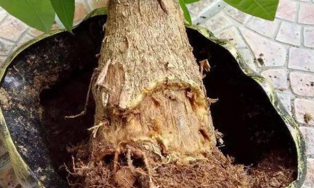发财树根茎腐烂的抢救方法!