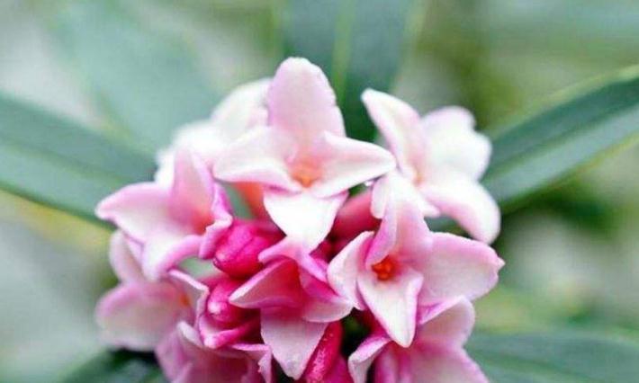 此花姿态婆娑潇洒,散发着一种诱人心魂的芳香,寓意为祥瑞与吉利