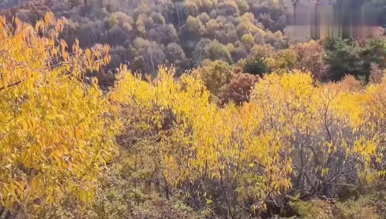 你还在看红叶吗?不如来看这里的五彩树林,还有罕见的白桦林