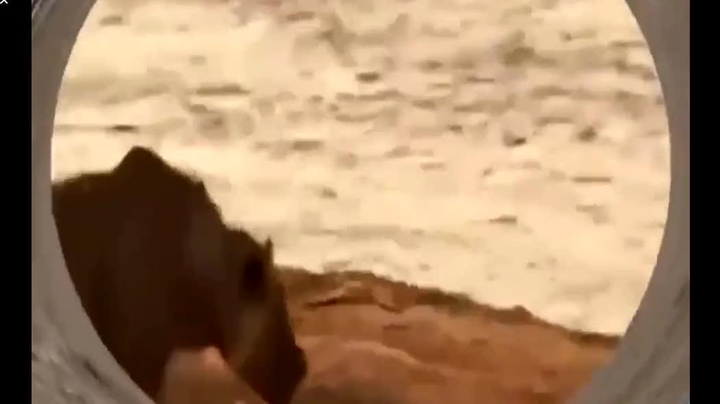 狮子冒死拍鳄鱼脑袋,瞬间暴躁的鳄鱼太吓人!谁想狮子另有意图