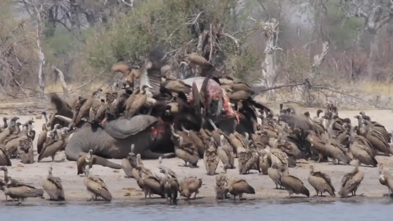 密密麻麻一大片秃鹫,排着队等待享用大象的尸体!密集恐惧症慎入