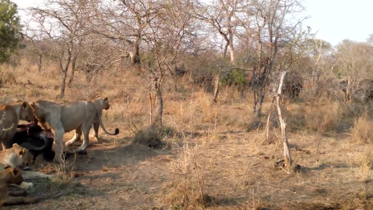 愤怒的水牛看着同伴被狮子吃,竟然做出了攻击姿态,想要吓走狮群