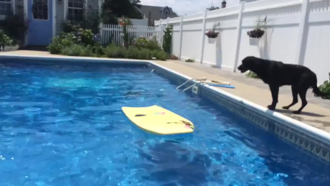 高智商的汪星人,扑通一声跳到泳池的浮板上 靠近玩具球