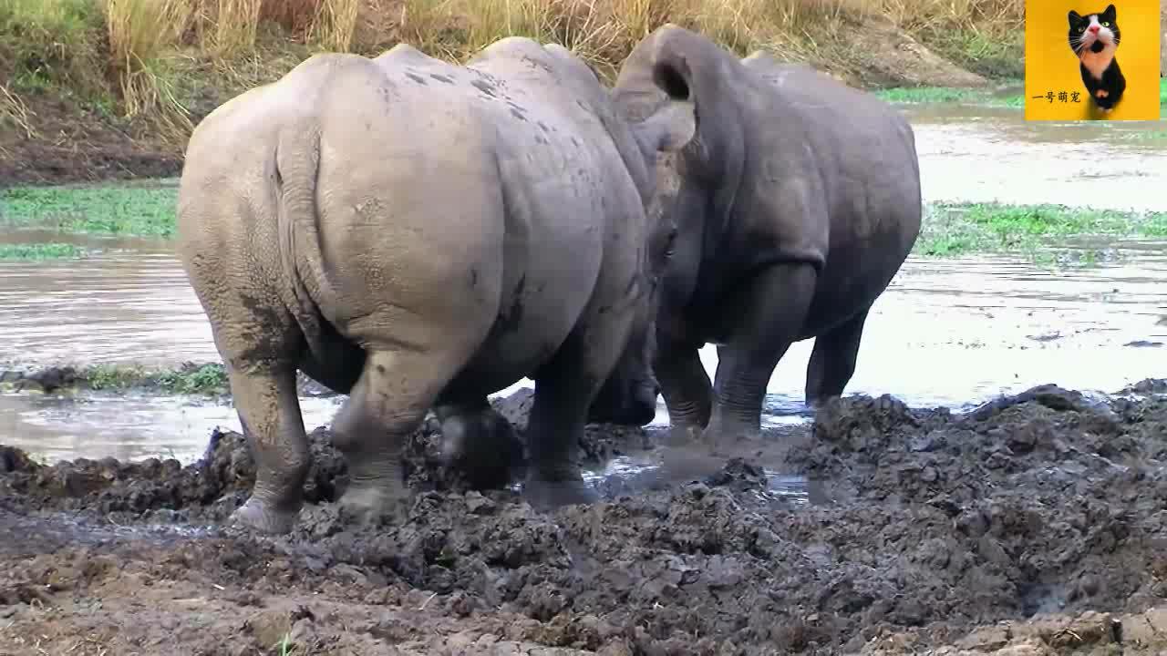 白犀牛领土冲突,两只庞大的犀牛单挑,战斗了25分钟也难分胜负