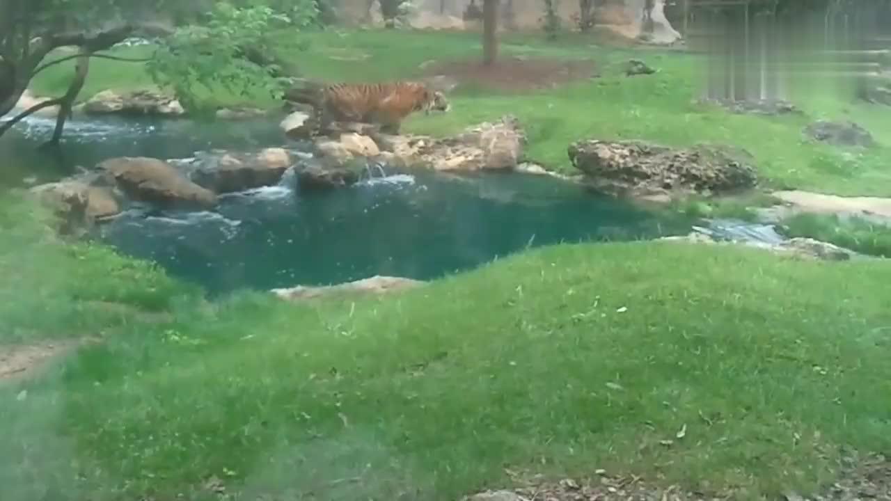 两只老虎抓鸭子,每一次都扑空,太丢脸了