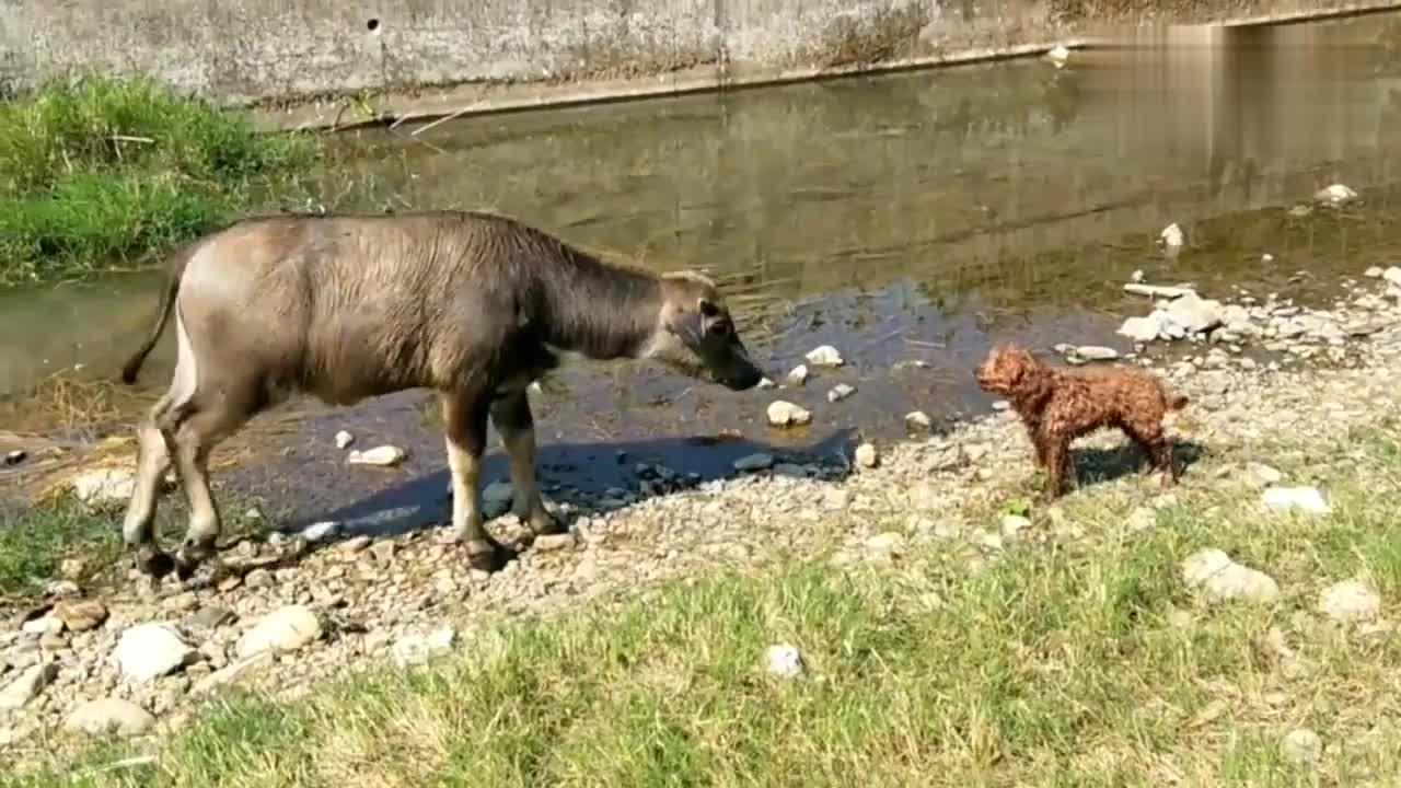 狗狗冲着小牛汪汪叫,结果把小牛惹毛了,被小牛追得到处跑