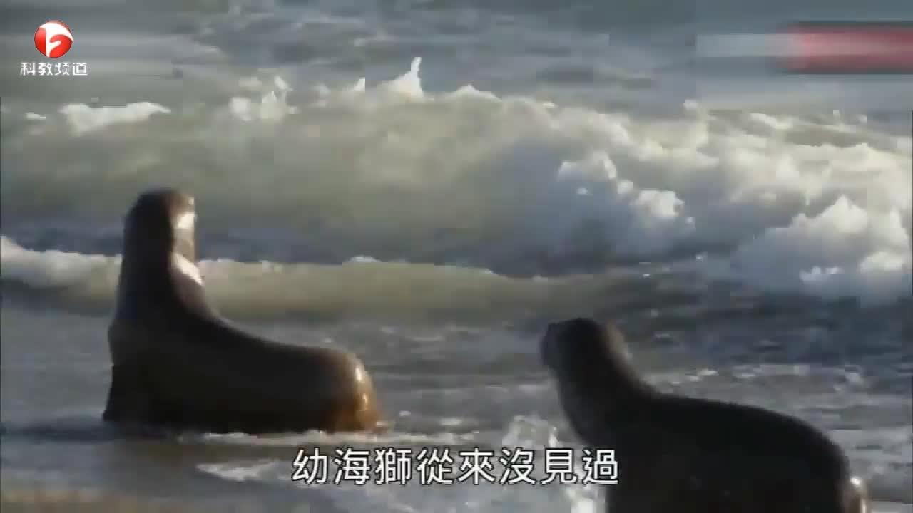 海狮幼崽好奇走向虎鲸,危急时刻海狮护住幼崽