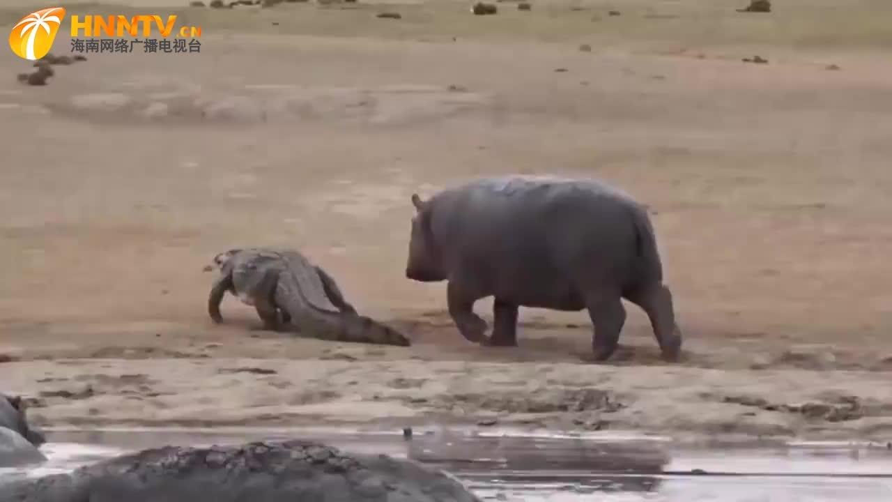 河马疯狂追打鳄鱼,大象路见不平一声吼,河马:水里的也该你管?