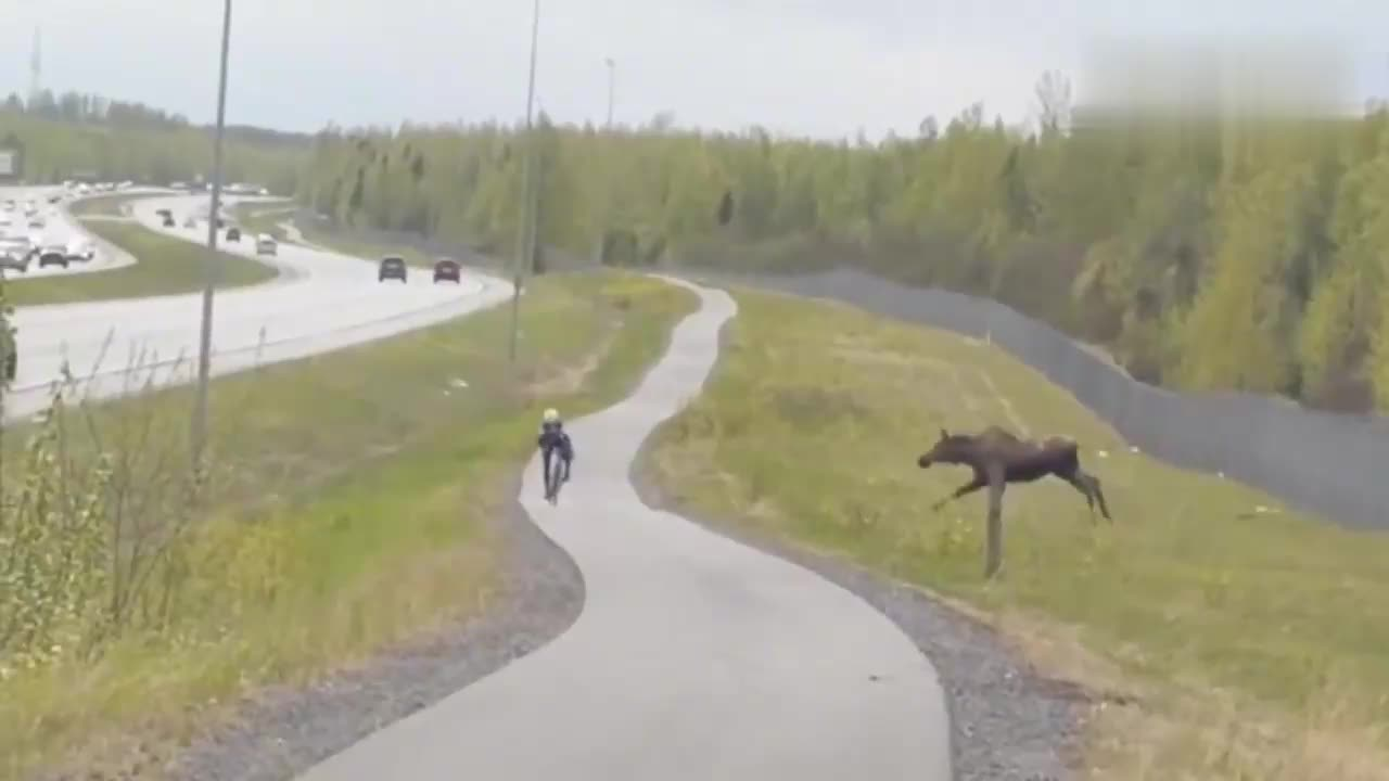 驯鹿过马路时被车撞飞,鞋子也飞了
