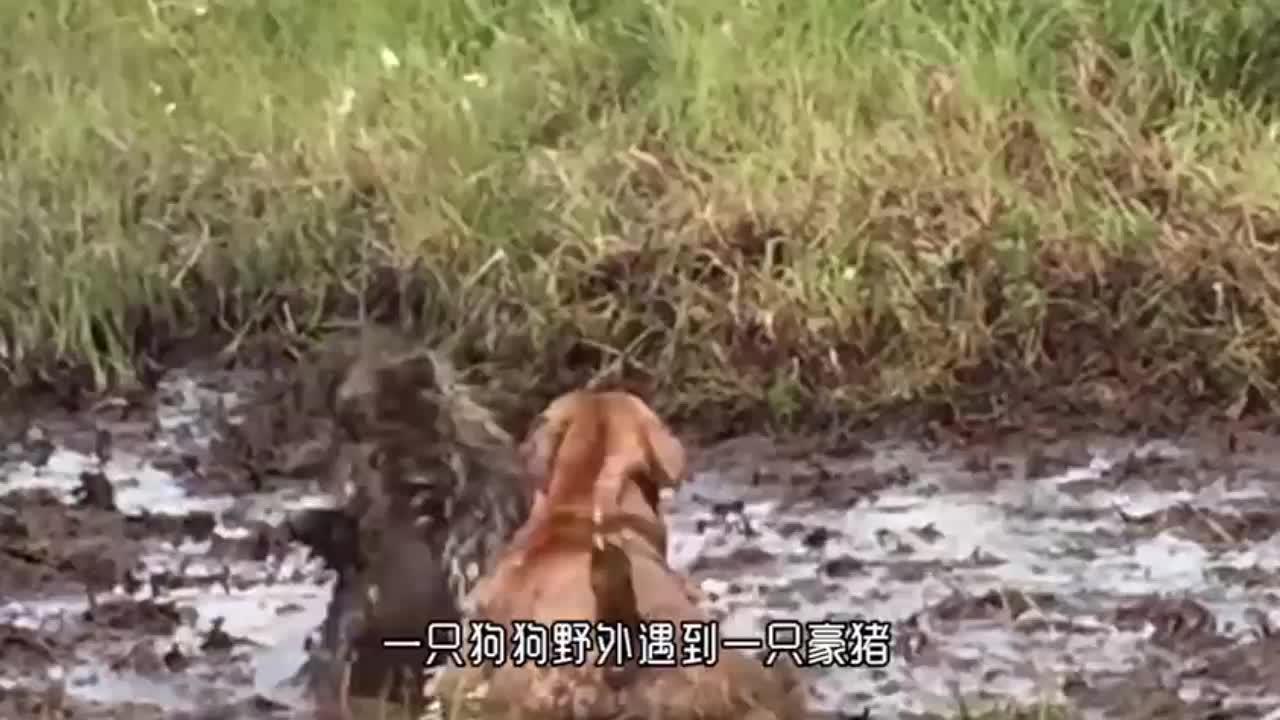 狮子野外抓豪猪,左摇右晃想攻击,结果被扎得一嘴刺