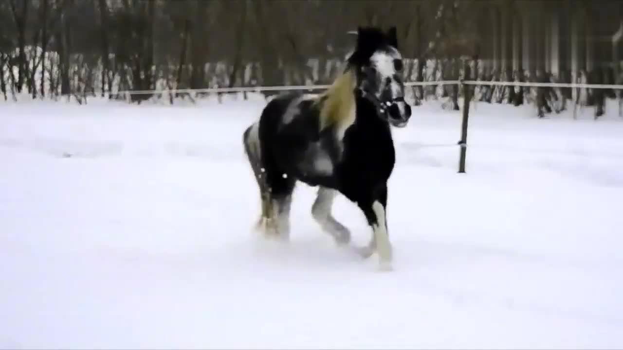漂亮的花马,在厚厚的雪地里跑