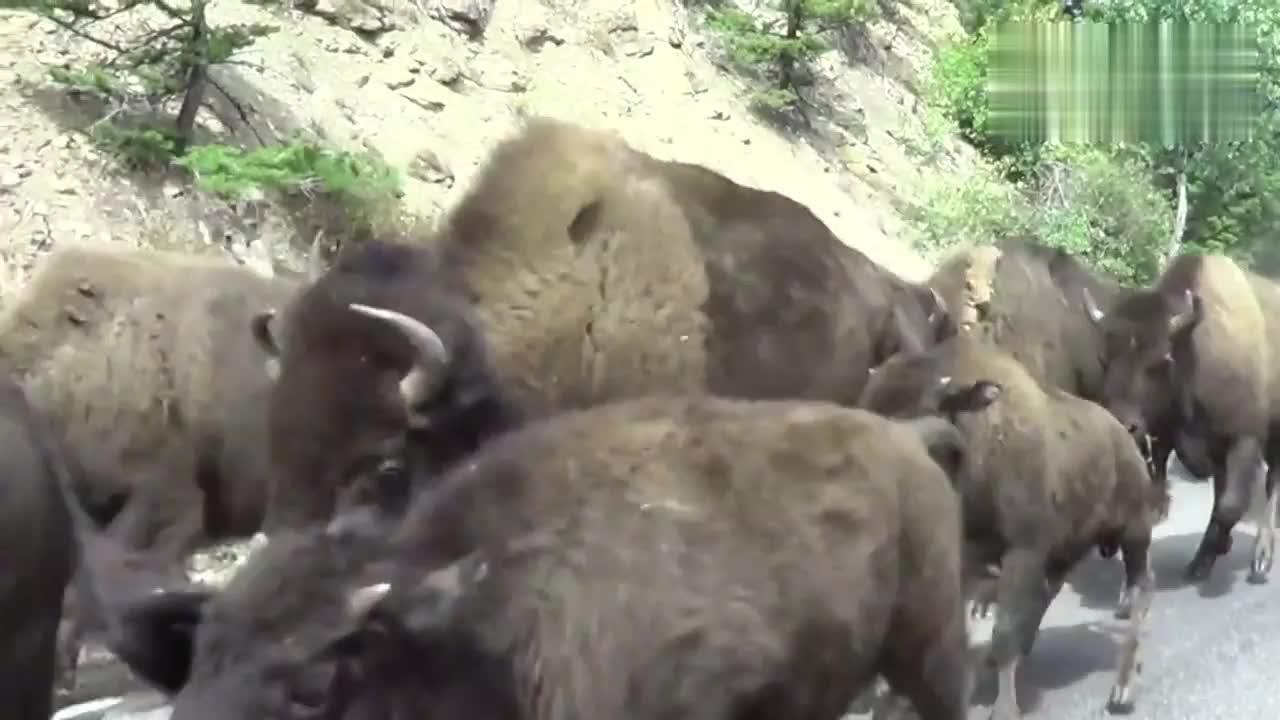 公路上跑过一群野牛,没有车敢挡在它们前面