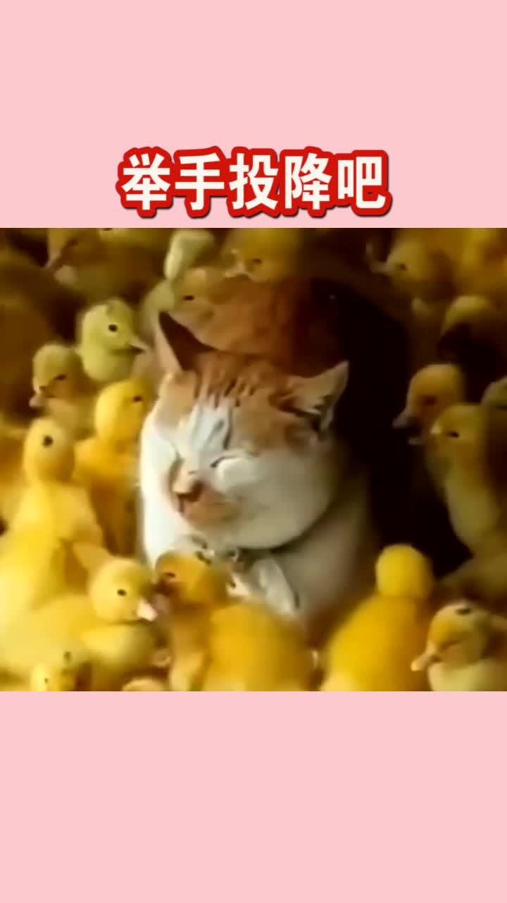 这只猫咪应该怀疑猫生了吧居然被一群小鸡仔包围了