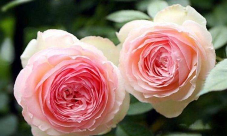 4种花美的出奇,空气清新,满屋飘香,粉色的花朵满满的少女心
