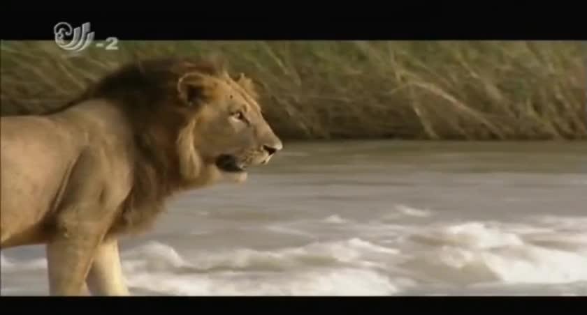 狮子非常讨厌河水,但它要回家,就必须穿过河流