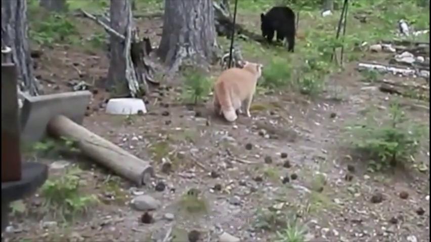 大灰熊野外遇见猫咪,吓得窜到树上,太怂了