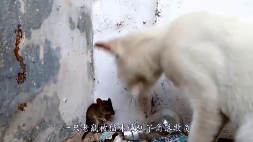 老鼠被猫咪堵到墙角,快要崩溃了,老鼠:大哥来个痛快