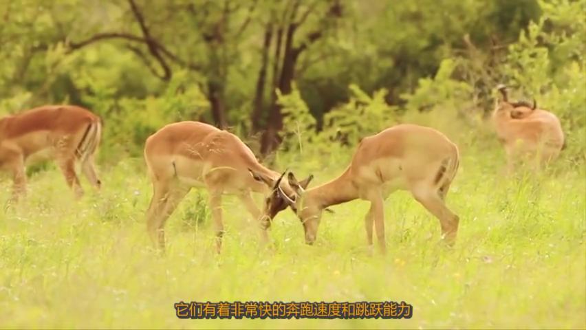 羚羊陷入两只猎豹夹击,情急之下,乘上了救命的顺风车!