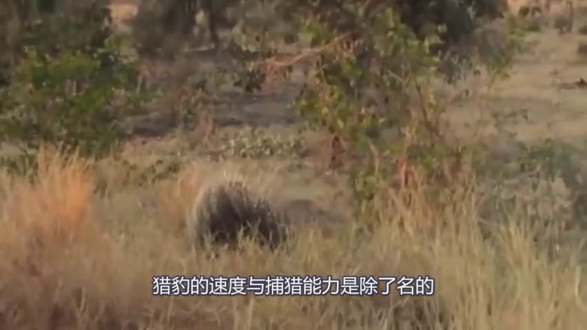 花豹追了一天一夜豪猪,身中几十猪箭还是一直不放手