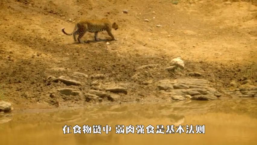 花豹和豪猪形成对峙局面,花豹多次攻击,结局令人意外!