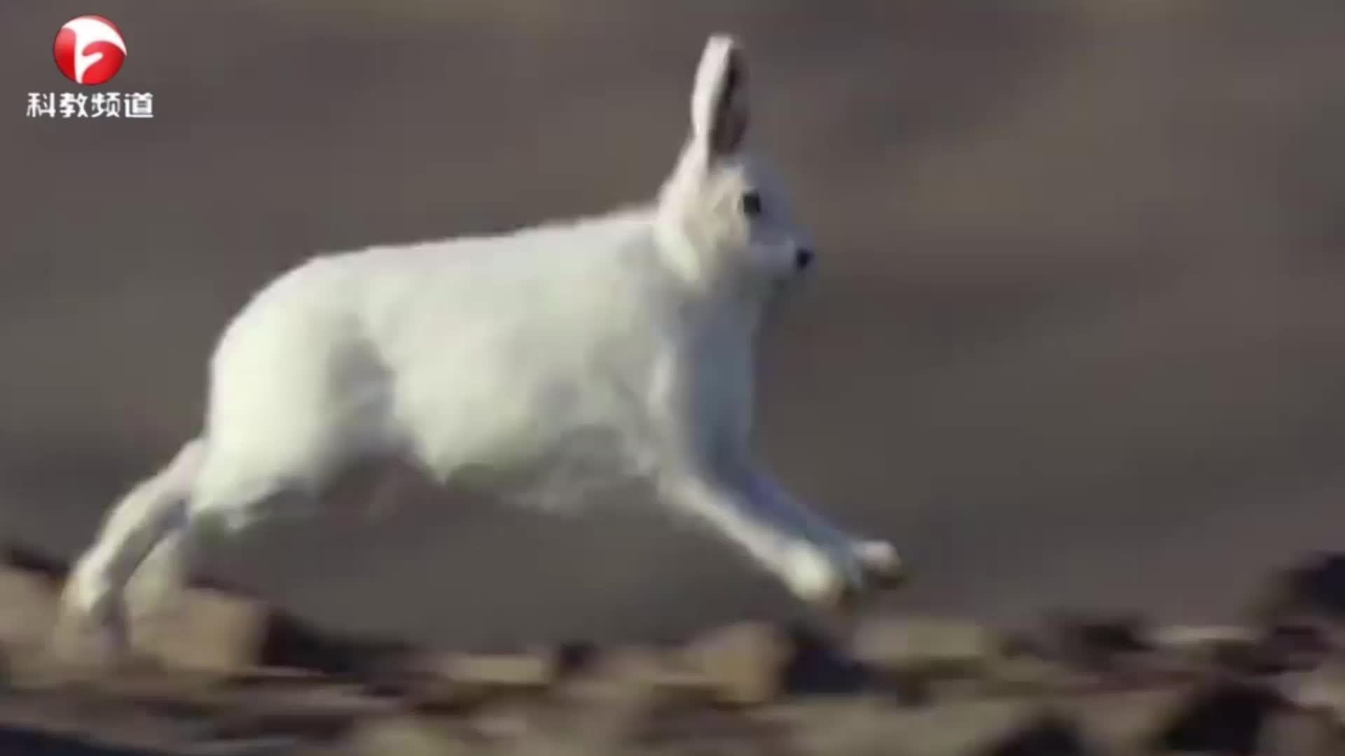 几只野狼捉兔子,死追不放,一番周折后终于到手了!