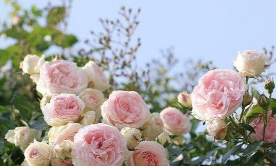 野蔷薇花的盛开时间,花语的意思,你都懂得吗