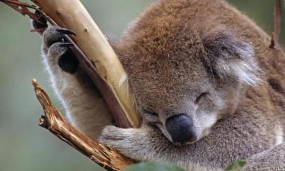 世界上最懒的动物,一天20个小时都在睡觉,靠吃便便长大