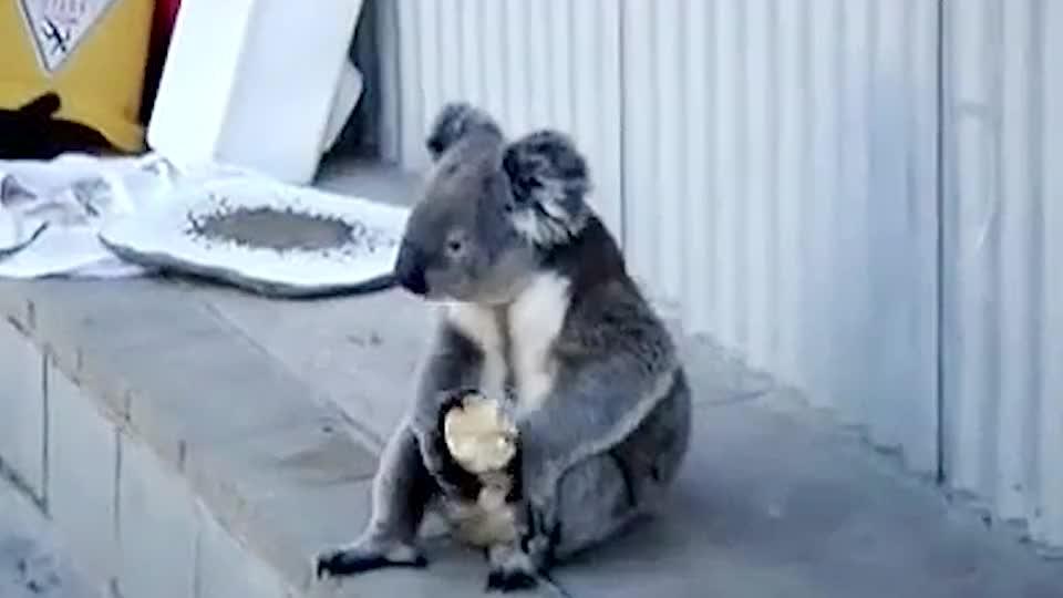 考拉闯进居民家,男子递给它一颗苹果,不料考拉吃出了沧桑感