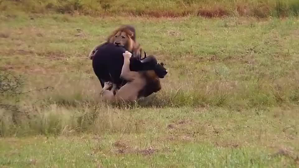 """小牛被狮子攻击,为救孩子水牛妈妈牺牲自己,却被小牛""""蠢哭了"""""""