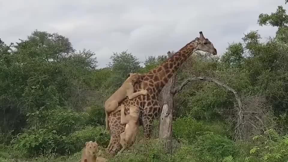 长颈鹿被狮群围攻4个小时,仍淡定吃树叶!镜头记录全过程