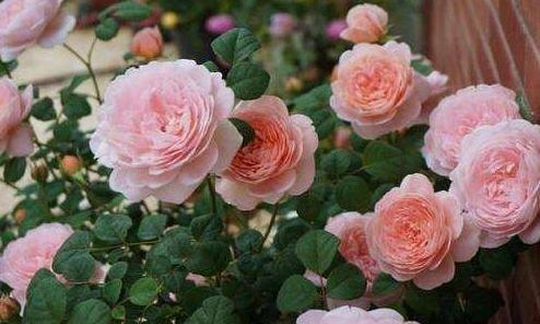 自制月季花肥,不用花钱买肥料,月季花也能躁满盆,花朵硕大