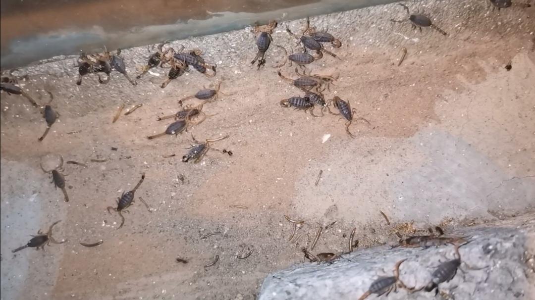 养殖蝎子要预防蚂蚁,蚂蚁不但咬食黄粉虫,也会伤害蝎子