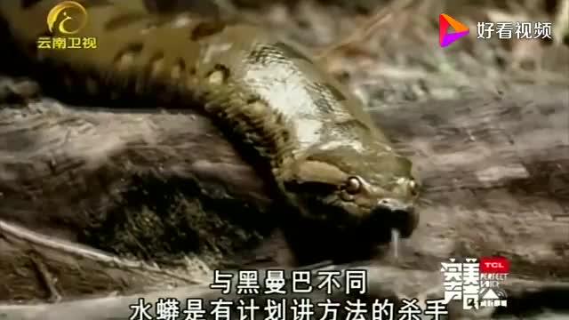 自然密码:水蟒滑入水中狩猎,体型庞大的鳄鱼,有时也干不过它