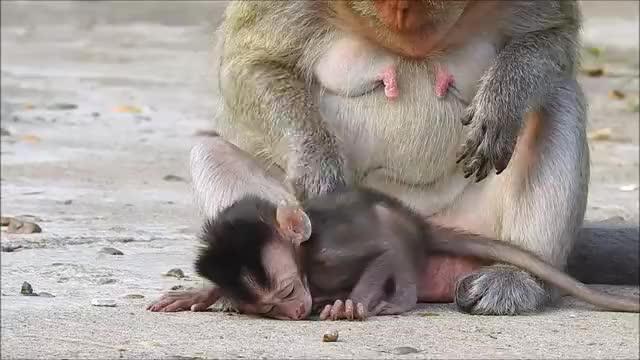小马丁越来越依赖外婆猴了,在外婆猴怀里表现得好乖巧!