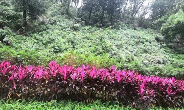 朱蕉高雅华丽,花红叶也红,带彩色的叶子非常漂亮