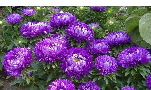 格桑花四季可播种,颜色鲜艳开花漂亮,种上种子一周就出苗,好养