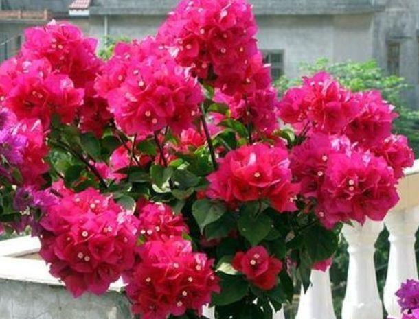 """""""4种花""""好养又漂亮,随便一养成花海,花开一茬接一茬!"""