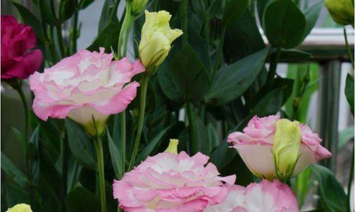 家养有些植物,阳台开出花海,妖艳妖娆,直接开成百花园