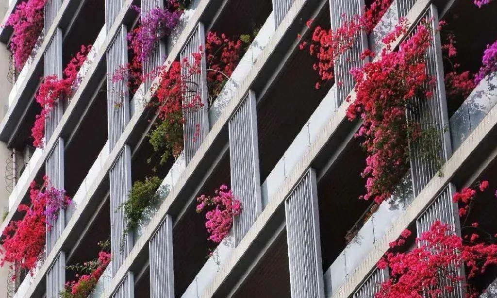 30层楼高开满三角梅,变成空中花园,太美了!