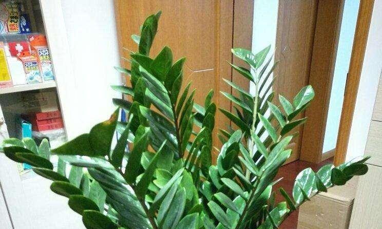 金钱树叶子发黄,跟老花农学几招,叶子又绿又厚!