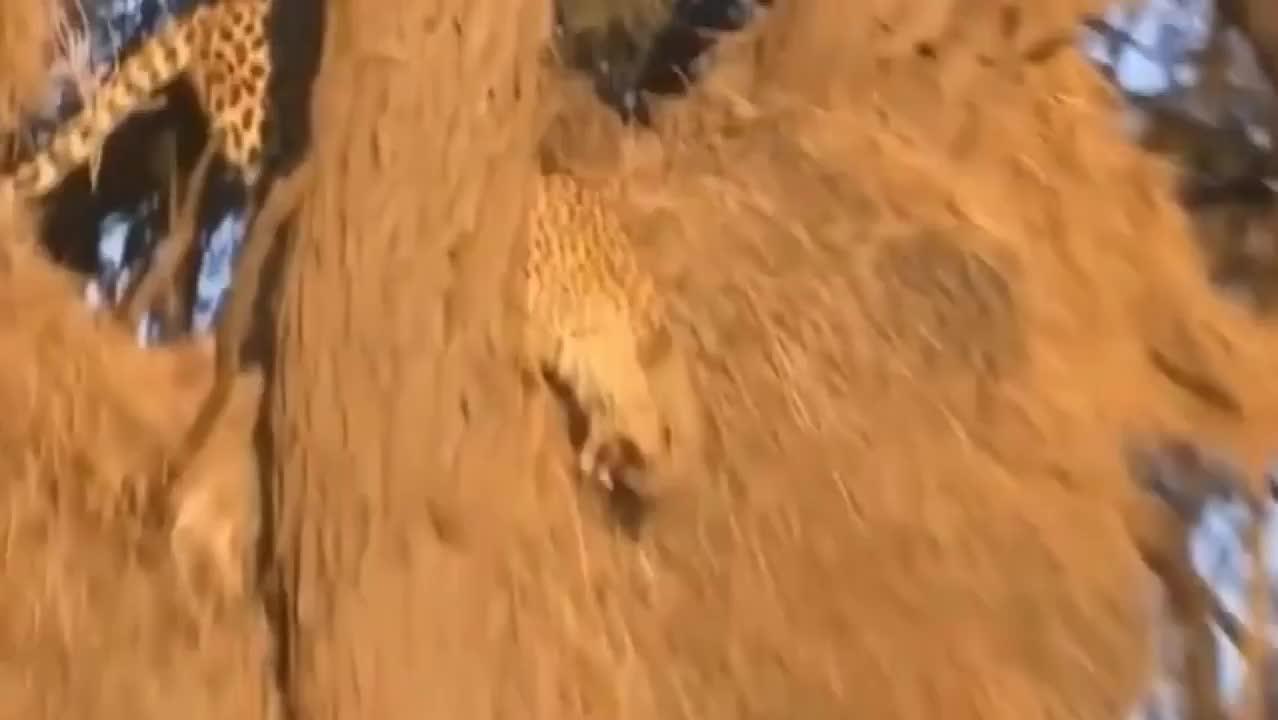 雄狮想上树抓豹子,试了下知道自己实力不行