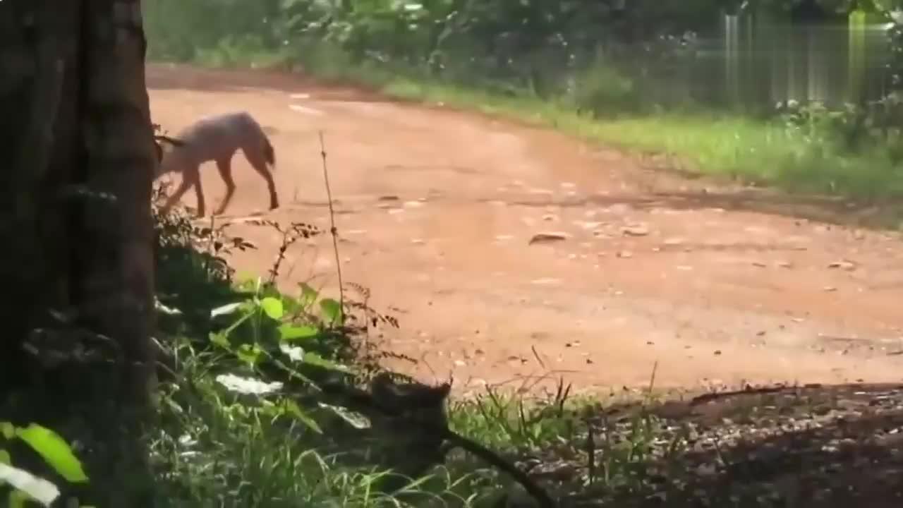 豹子埋伏在路边偷袭胡狼,胡狼勇敢迎战救了自己一命