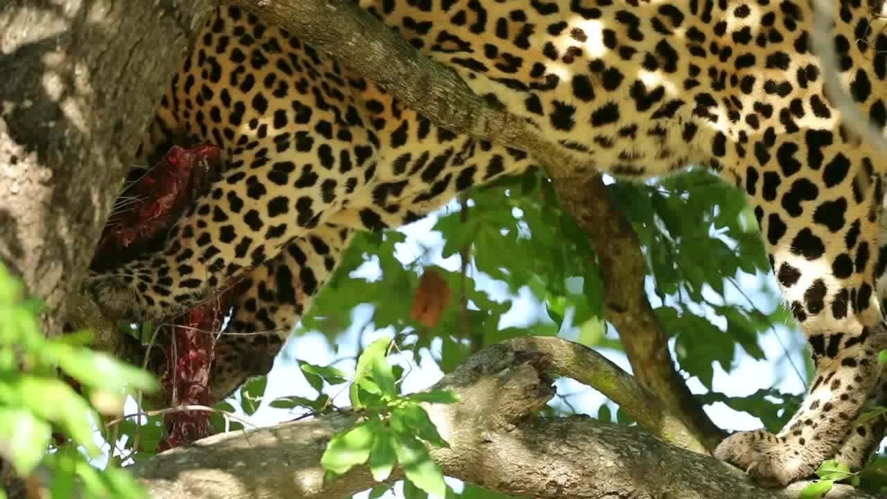 豹子把猎物叼上树干,没有其它掠食者打扰!吃得慢悠悠