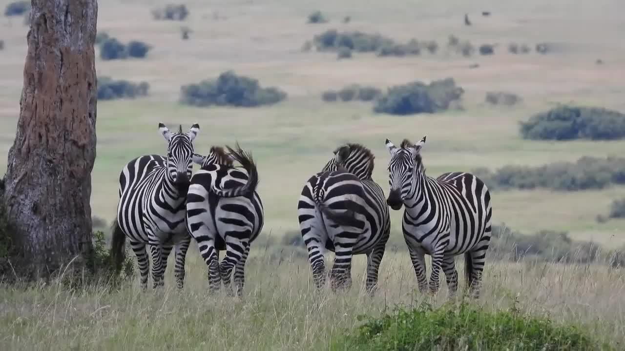 肯尼亚草原上的野生动物们,狮子与豹子开心的吃着各自的猎物