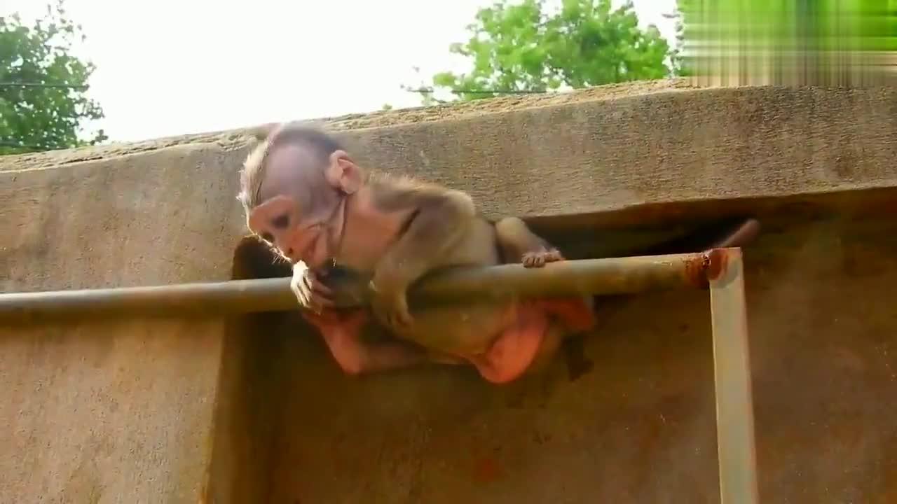 猴子克逊在晾衣杆上玩,不小心卡在铁和墙壁之间,表情太痛苦了!