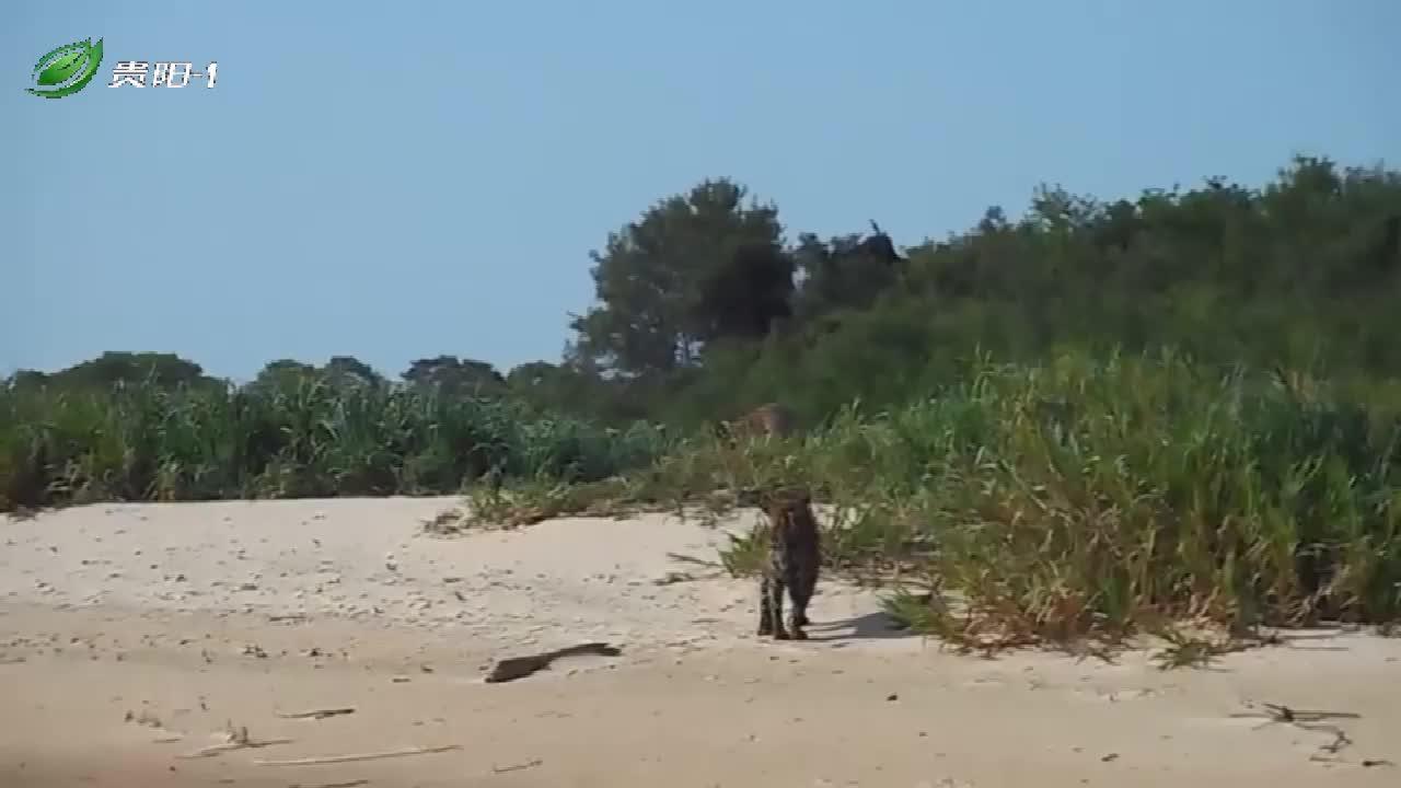 两只美洲豹碰面,前一秒还好好的,下一秒就干起来了!
